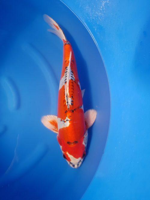 Nisai (2 jaar) Kikokuryu (beni) 1
