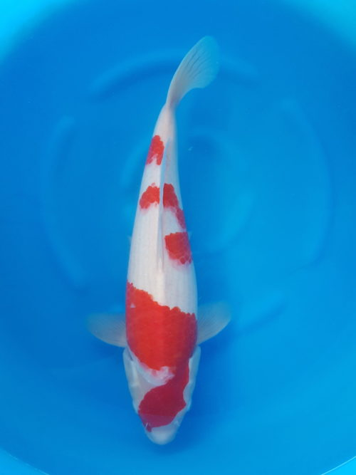 Nisai (2 jaar) Kohaku 1