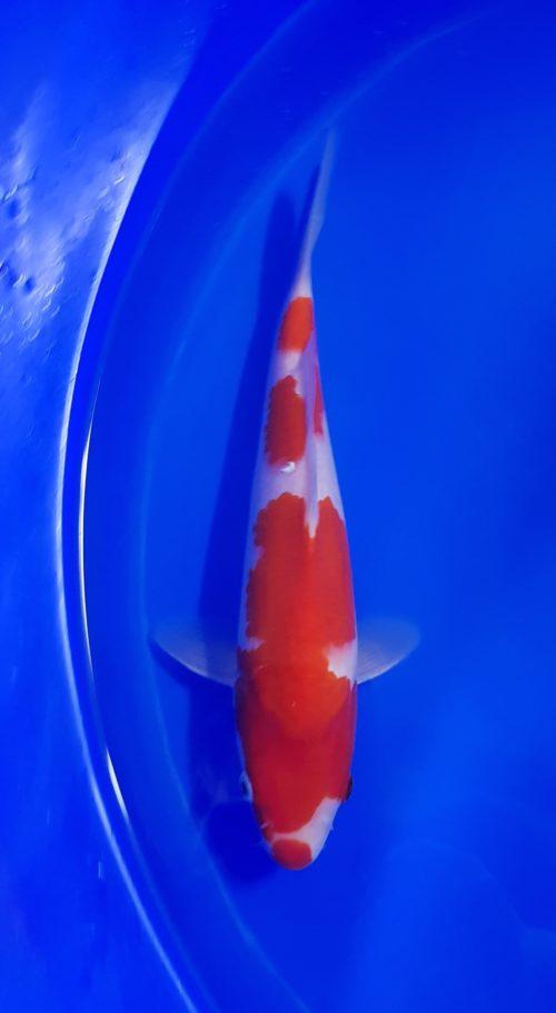 Tosai (1 jaar) kohaku 1