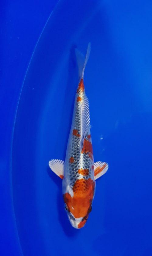 Tosai (1 jaar) Kujaku 1