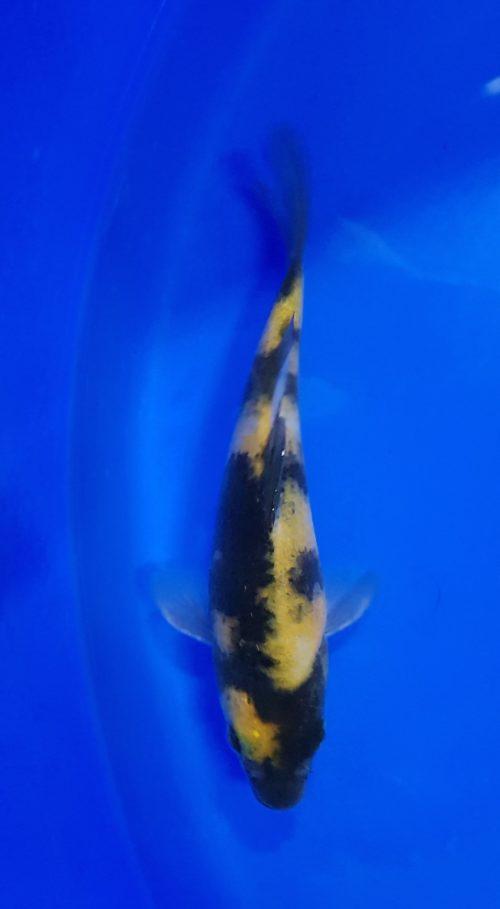 Tosai (1 jaar) Utsuri ki 1