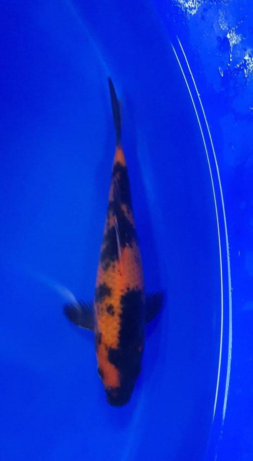 Tosai (1 jaar) Utsuri hi 1