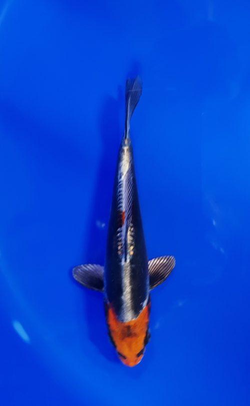 Tosai (1 jaar) Kikokuryu (beni) 1