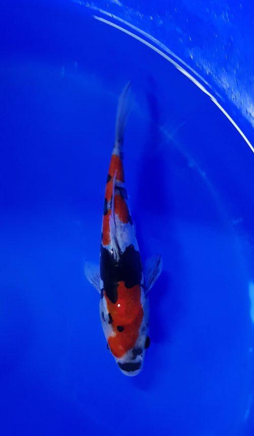 Tosai (1 jaar) Showa doitsu 1