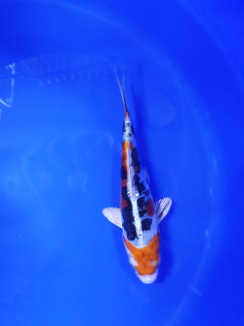 Tosai (1 jaar) yamatonishiki - koi-204114 1