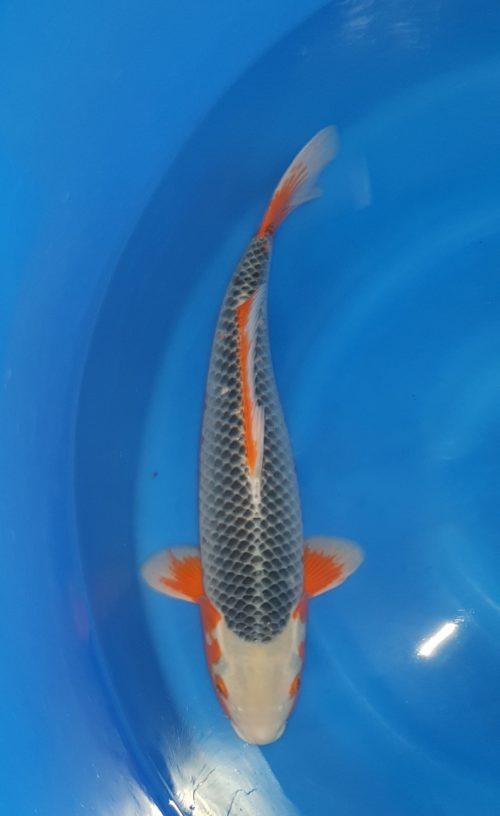 Sansai(3 jaar) asagi - koi-10059 1