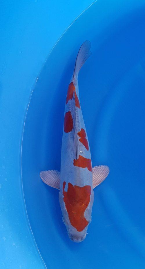 Nisai (2 jaar) ochiba doitsu - koi-10236 1