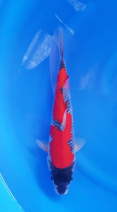 Nisai (2 jaar) goshiki - koi-10202 1