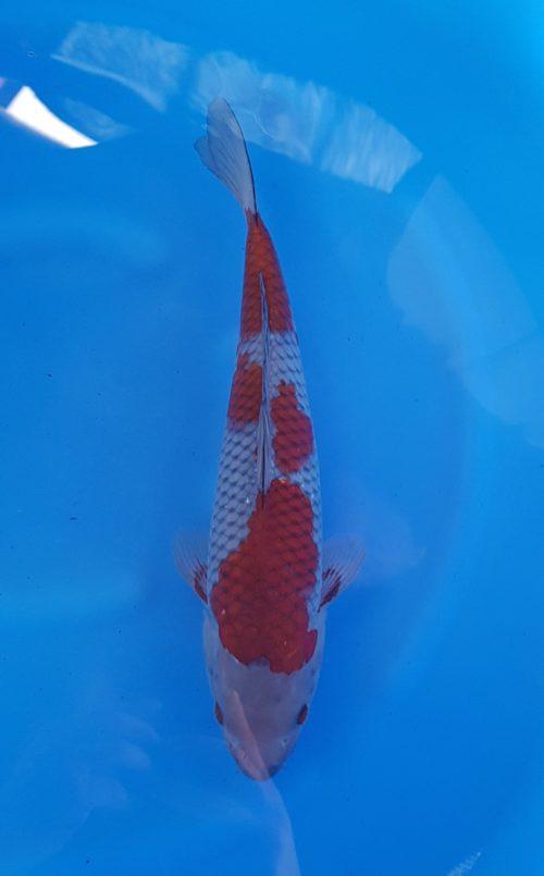Nisai (2 jaar) ochiba - koi-10204 1