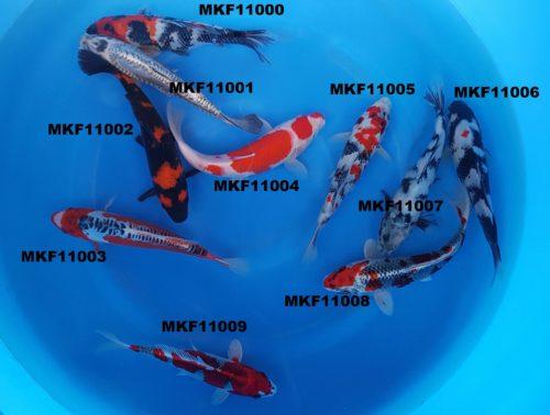 Small nisai kikokuryu - koi-mkf11001 1